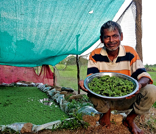 Farmers in Talaja have happily adopted the Azolla feed