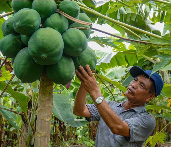 Mr Sapchhunga of Belkhai cluster in Serchhip district checking his papayas