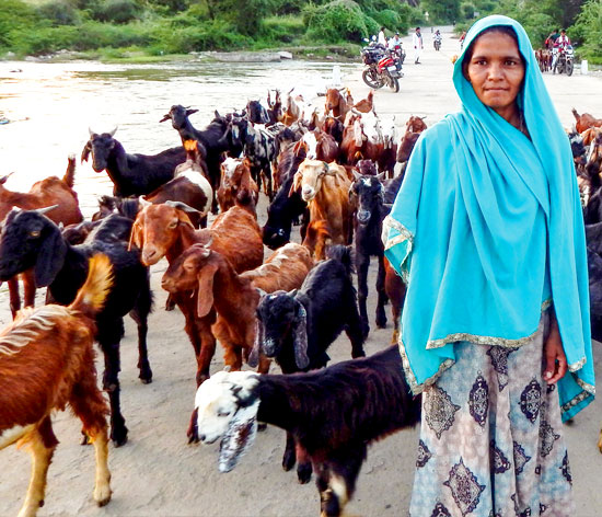 Somi bai with her herd of goats in Gordhanpura village, Pali district, Rajasthan