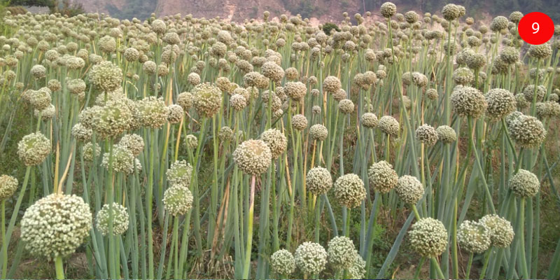 Seed Umbel Maturity Stage